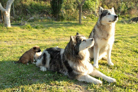 pair of purebred dogs husky alaskan husky with your puppy 24062011