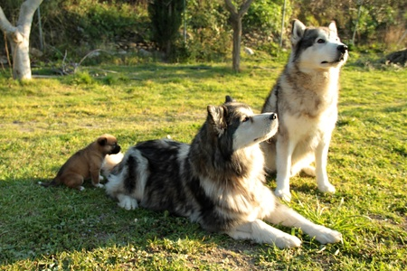 pair of purebred dogs husky alaskan husky with your puppy photo