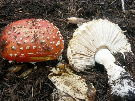 mushroom picking, mycology photo