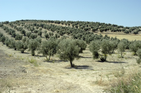 tree planting: olive grove Stock Photo