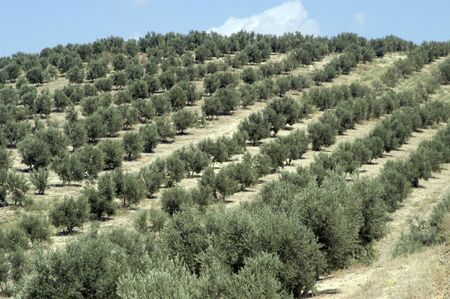 olive groves Stock Photo