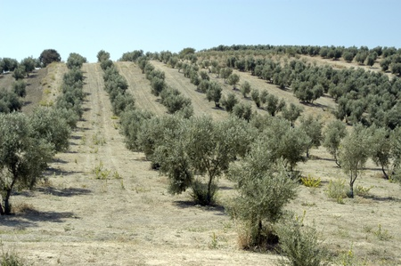 olive groves photo