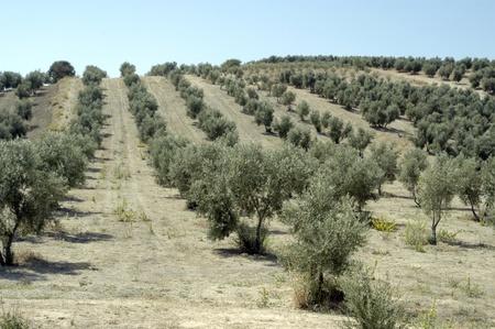 olive groves Foto de archivo - 10655450