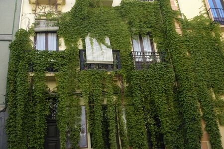 ivy on the facade of a building