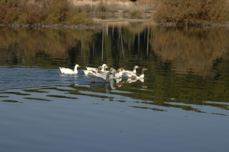 Cubillas swamp ducks in the province of Granada photo
