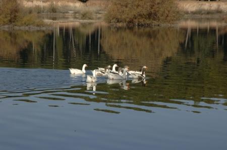 Cubillas pantano patos en la provincia de Granada Foto de archivo