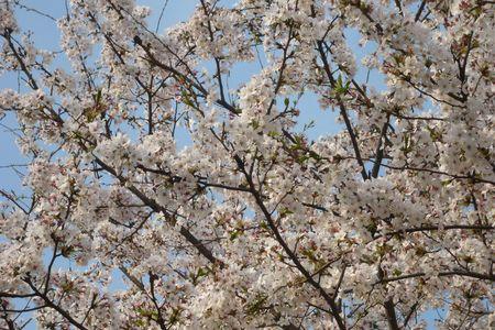 Cherry blossom in Seoul, Korea photo