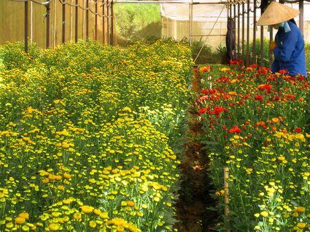floriculturist: Vietnamese farmer growing flowers in Da Lat, Vietnam