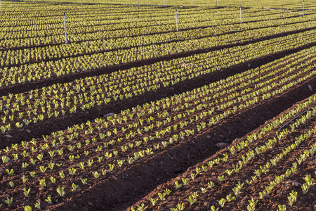 baby leaf lettuce cultivation, field of lettuce, green leaves