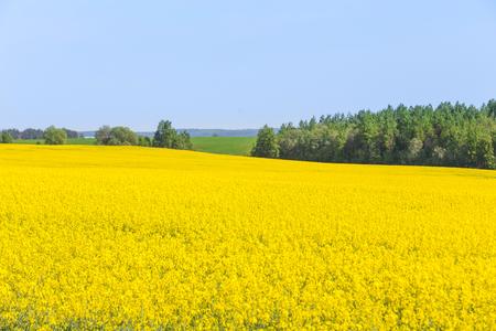 Rapsfeld, blühende Rapsblumen. Blühender leuchtend gelber Raps im Sommer. Selektiver Fokus. Standard-Bild