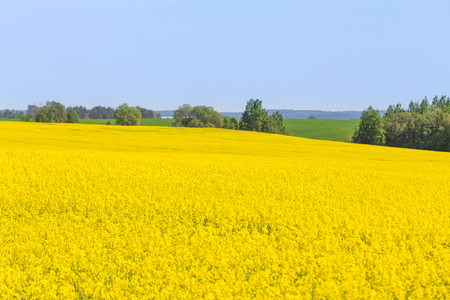 Rapeseed field, Blooming canola flowers. Flowering Bright Yellow Rape in summer. Selective focus.
