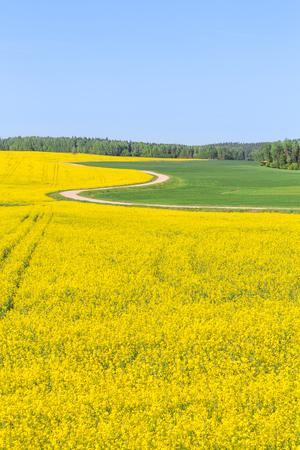Rapeseed field, Blooming canola flowers. Flowering Bright Yellow Rape in summer.
