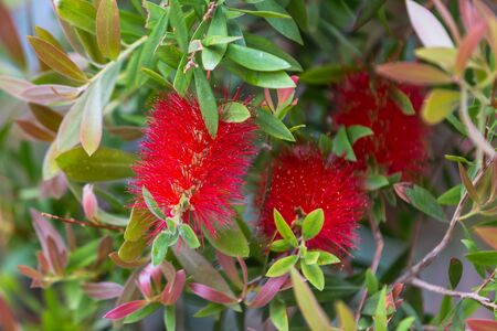 Callistemon citrinus red bottle brush tree blossom.