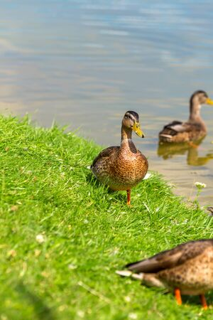 Ducks stand on the green grass on the shore of the lake on a Sunny summer day. Reklamní fotografie