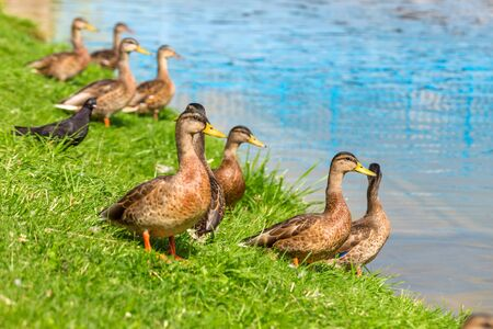 Young ducks of the first year stand on the green grass on the shore of the lake on a Sunny summer day. Mallard Anas platyrhynchos in the wild. Close up. Reklamní fotografie