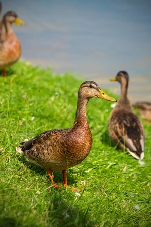 Young ducks of the first year stand on the green grass on the shore of the lake on a Sunny summer day. Mallard Anas platyrhynchos in the wild. Reklamní fotografie