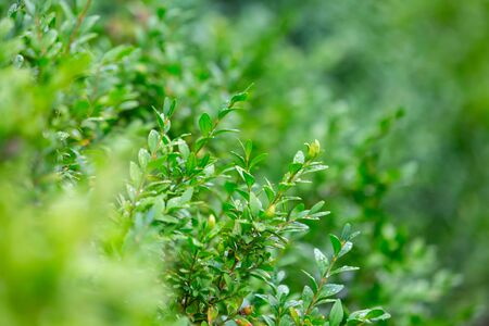 Evergreen ornamental shrub close-up. Abstract background with lush greenery. Horizontal. Reklamní fotografie