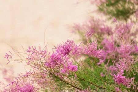 Incredibly beautiful, with delicate pink flowers, Tamarix shrub. Flowering branch on the background of a sandy beach.