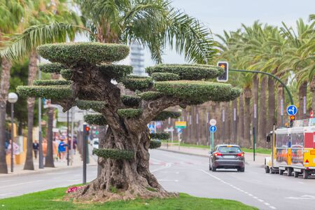 Beautifully trimmed old olive tree in bonsai style, located in the center of Salou, Spain, Catalonia.