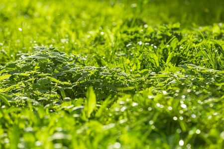 Texture of the grass. Emerald green lawn.