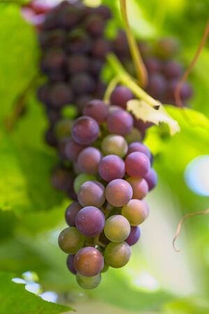 bunch of ripe grapes on the vine branch. Imagens