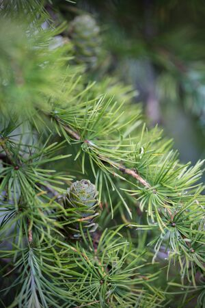 A small bump on larch. Selective focus.