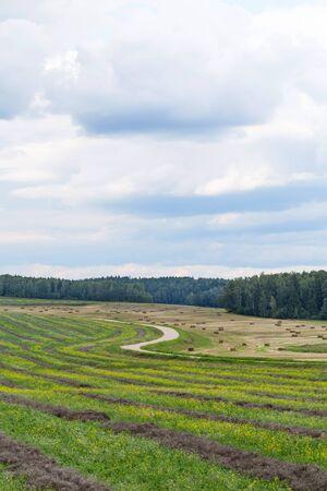Field of freshly mown alfalfa hay on a beautiful summer day.