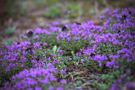 Thyme blooming in the forest with bumblebees on the flowers.