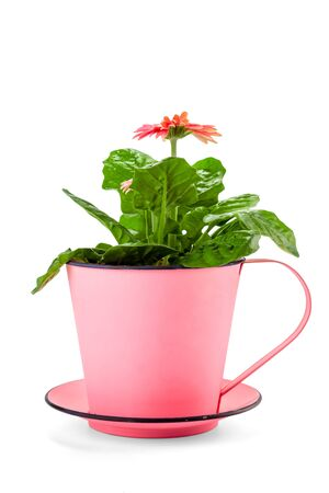 pink gerbera in a beautiful decorative planter isolated on white.