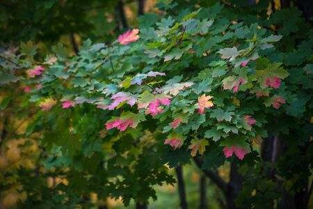 Autumn colorful leaves lush maple, beginning to blush. The change of seasons, falling leaves.