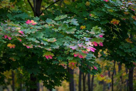 Autumn colorful leaves lush maple, beginning to blush. The change of seasons, falling leaves. European autumn.