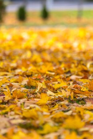 Natural autumn pattern background with dry and yellow mapple foliage. Fall leaves pattern. Macro 版權商用圖片