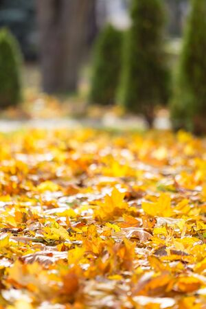 Natural autumn pattern background with dry and yellow mapple foliage. Fall leaves pattern. Macro Banco de Imagens