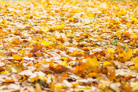 Natural autumn pattern background with dry and yellow mapple foliage. Fall leaves pattern. Blur. Фото со стока