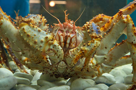 Close-up of a king crab in the aquarium of the fish Department of the market. Delicacies of the Northern seas. Archivio Fotografico
