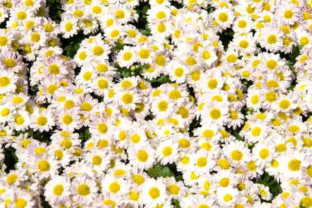 daisy stem: Daisy flowers