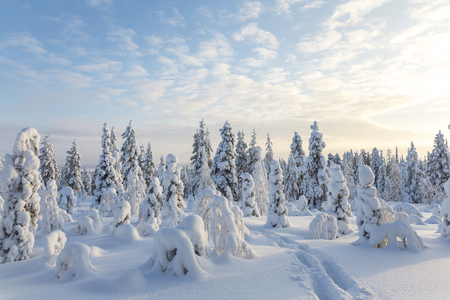 Snow covered trees, Riisitunturi National Park, Lapland, Finland