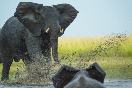Elephant play charging other elephant, Chobe Nat Pk, Botswana, Africa
