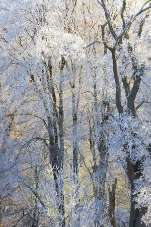 Snow covered trees, Uley, Gloucestershire, UK