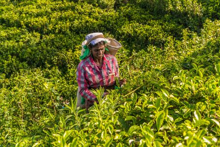 Tea pickers, Nuwara Eliya, Hill country, Sri Lanka Stok Fotoğraf - 128467506