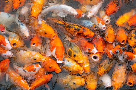 Colourful koi fish in the floating farm, Vietnam