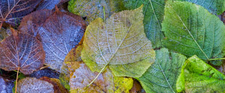Frost on autumn leaves - background banner image