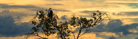 Eagle perched in a tree at sunset - Africa