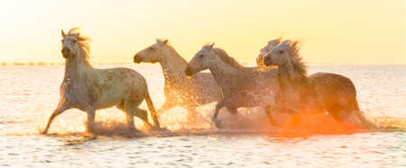 White horses running through water - background banner image