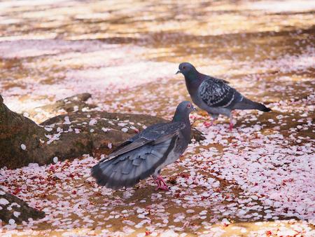 Two birds walking on sakura petals over the ground in spring season