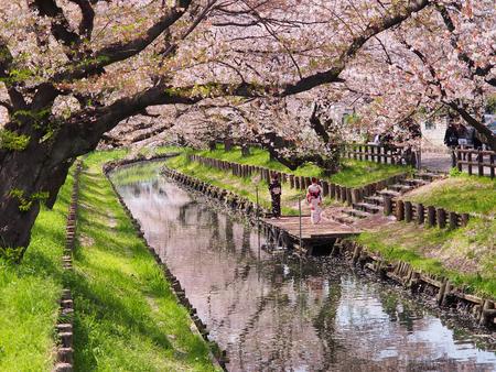Japanese girls in kimono dressing enjoying to see sakura flower or cherry blossom near the canal in japan