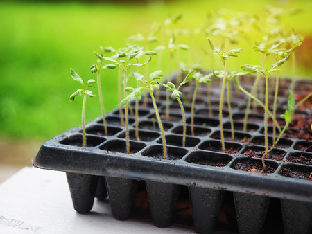 seed trays tomato sprout growing up in seedling tray agriculture plant stock photo