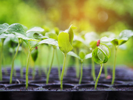 Melon sprout growing up in seedling tray , agriculture plant Stock Photo