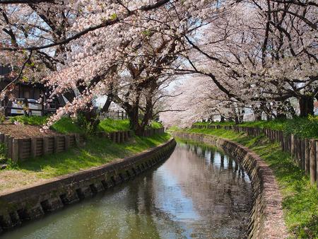 japan sakura flower or cherry blossom full bloom in spring season along canal in Kawagoe city.