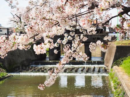japan sakura flower or cherry blossom full bloom in spring season.